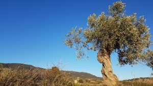 Winter-Olive-Tree-prosivendola-blog